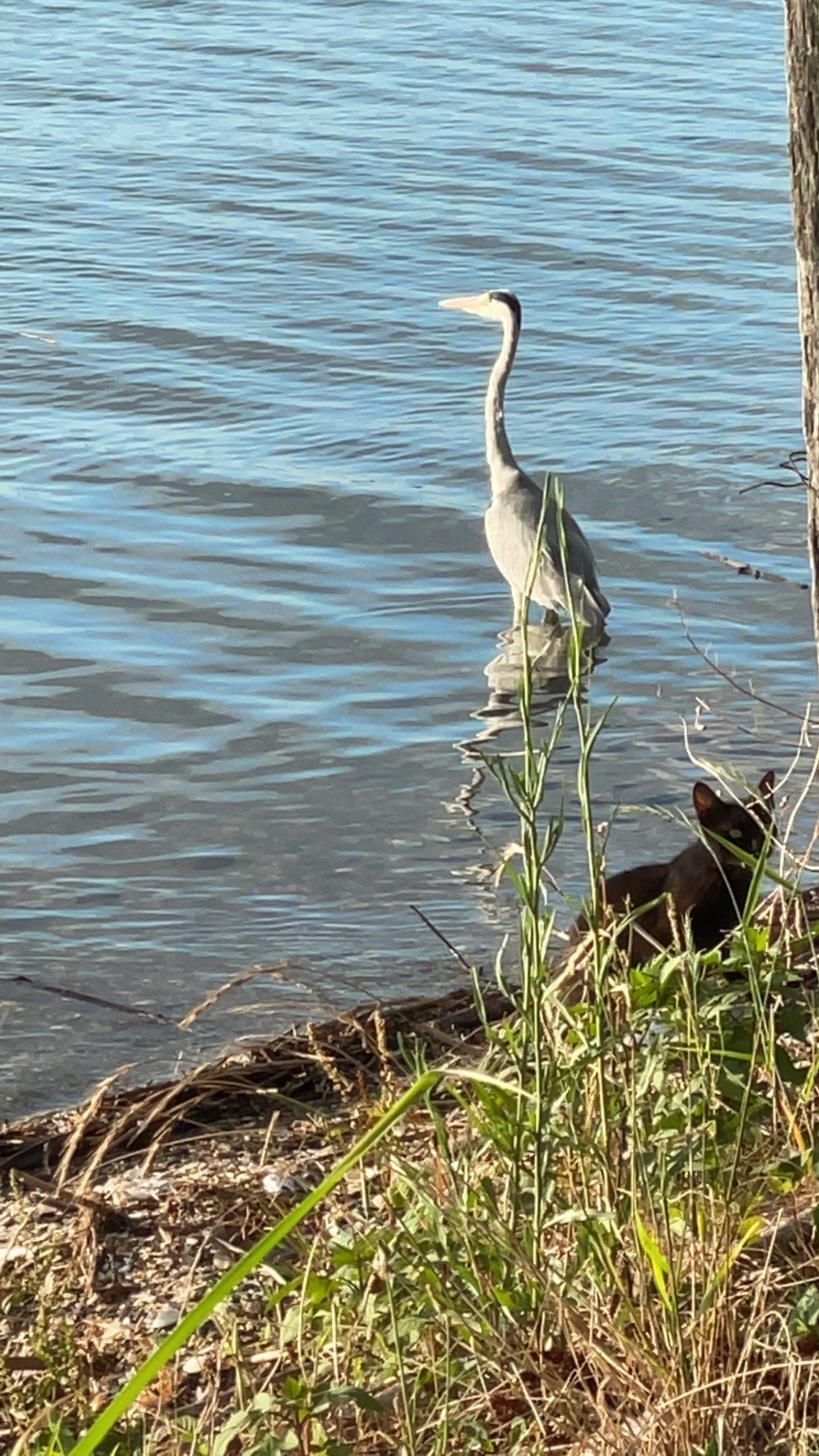 浜名湖の鷺
